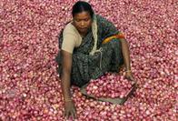 Onion_Harvest